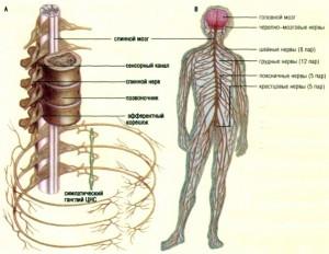Принципы исследования функциональных возможностей центральной нервной системы